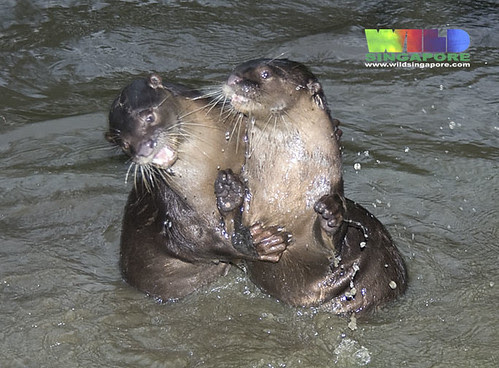 Playful otters at Sungei Buloh Wetland Reserve