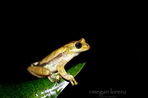 Tree Frog by Megan Lorenz