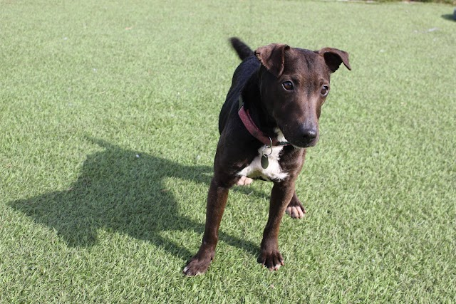 Frida – 3 year old female Patterdale Terrier