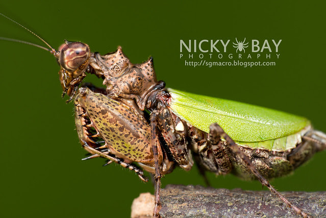 Pachymantis bicingulata - DSC_0634