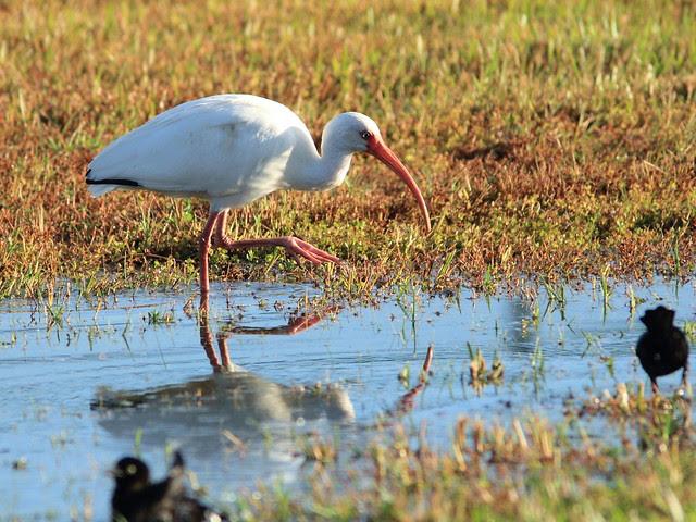 White Ibis 20121207