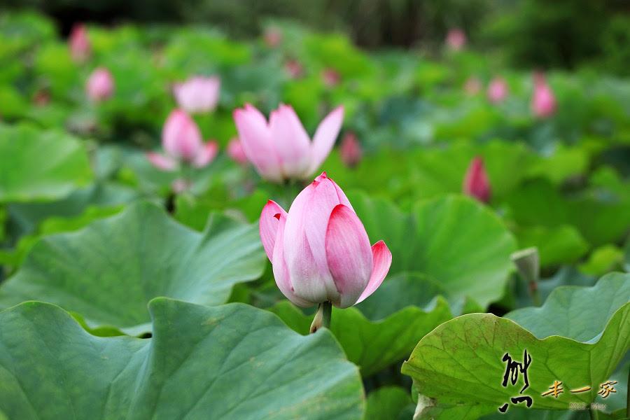 [三峽花季私房景點] 姑娘廟後方蓮花池|向日葵花田