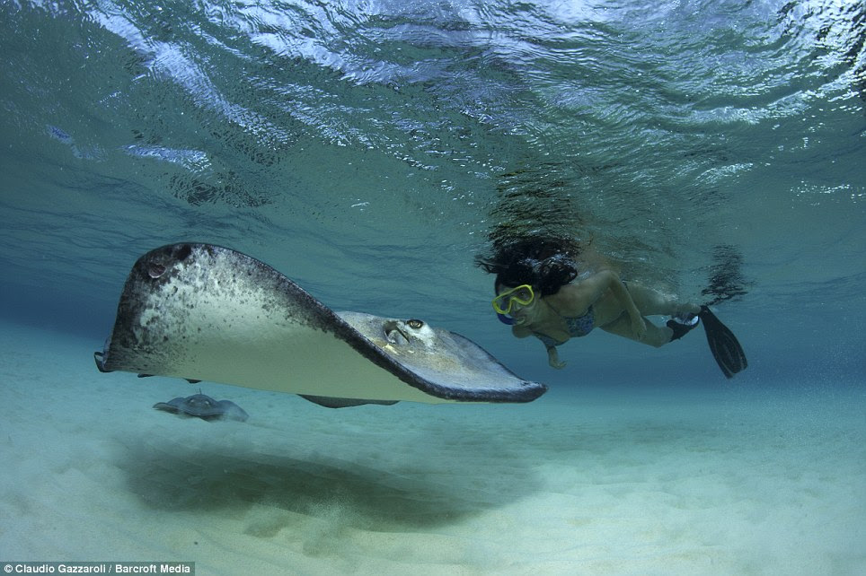 Getting close: Tourists flock to the Caribbean island each year to swim underwater with the majestic animals, as these extraordinary photos show