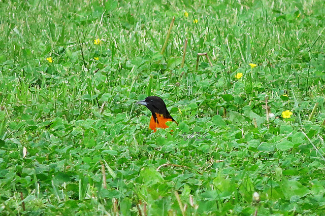 IMG_3524BaltimoreOriole