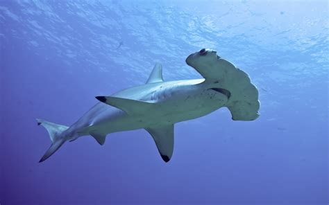 hammerhead shark desktop wallpaper hd  mobile phones
