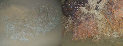 Hydroids-Order Hydrozoa (Changi)