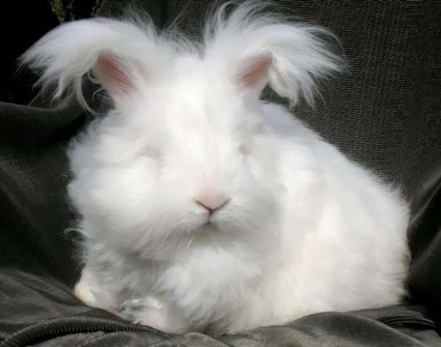 Afbeeldingsresultaat voor angora konijn