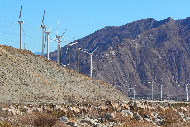 IMG_4843 Desert Bighorn Sheep and Wind Turbines