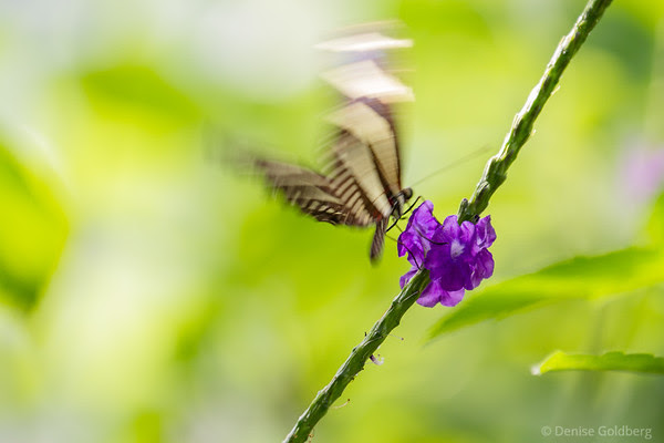 butterfly in motion