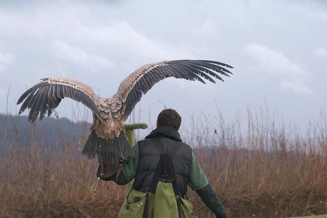 DSC_5422 Vulture