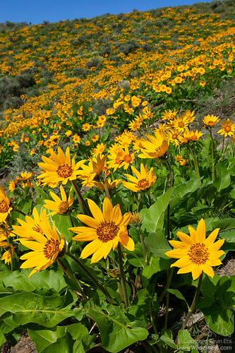 Blooming Balsamroot, Beezley Hills, Washington