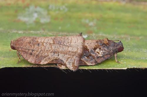 mating pair of moths IMG_3606 stk copy