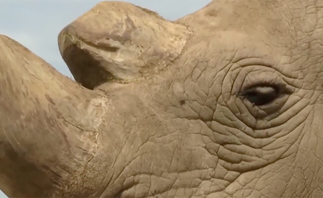 close-up of Sudan the rhino