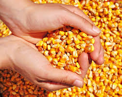 Rio Grande do Norte será contemplado com 8,3 toneladas de milho