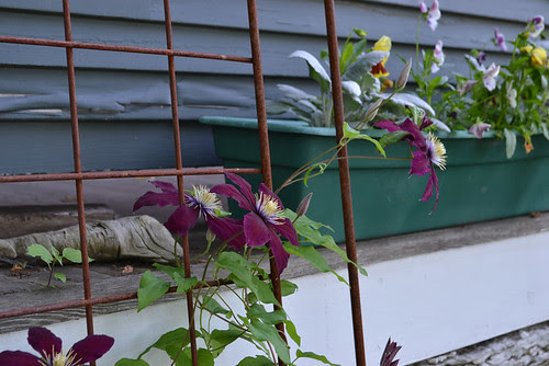 clematis & window boxes
