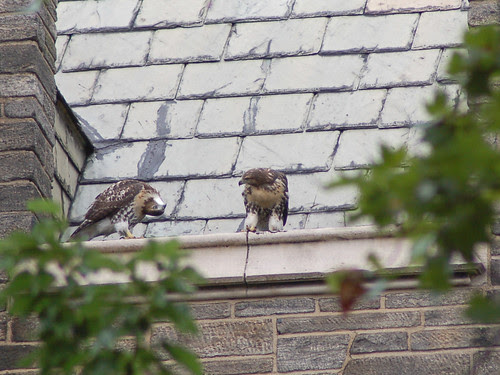 Cathedral Red-Tailed Hawks