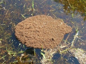 ant rafts