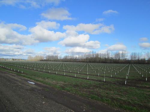 Nursery trees in mesmerizing rows