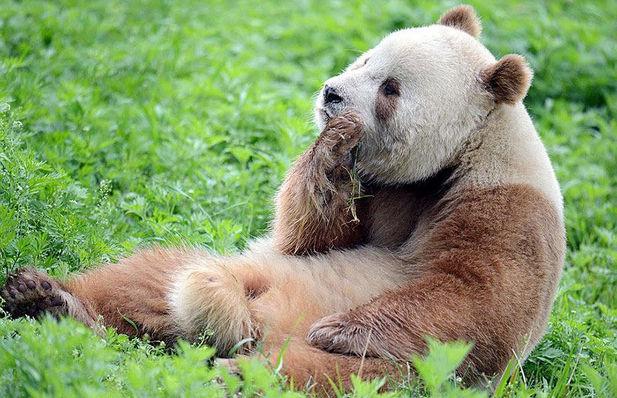 abandonou-brown-panda-qizai-8