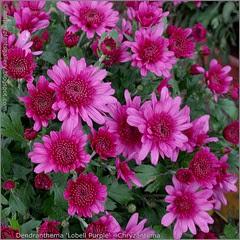 Dendranthema 'Lobell Purple' - Chryzantema kwiaty