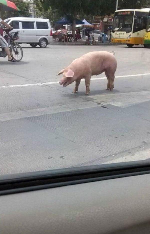 un-cerdo-salta-de-un-camion-que-lo-llevaba-al-matadero-y-salva-la-vida-al-ser-adoptado-por-un-policia-cerdo-en-la-carretera