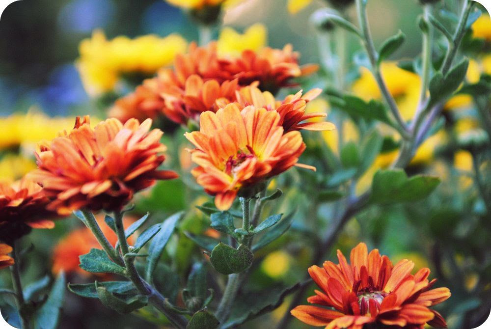rust colored mums