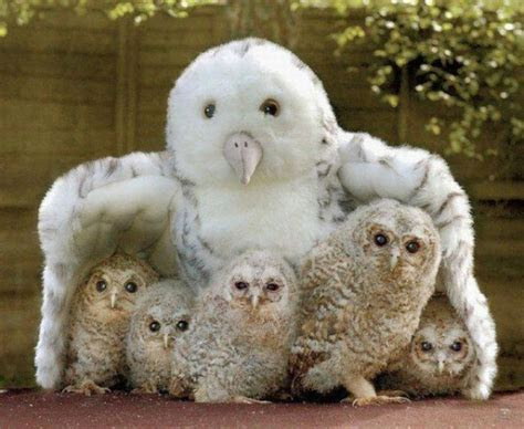 cute animal owl family pictures collection hd desktop