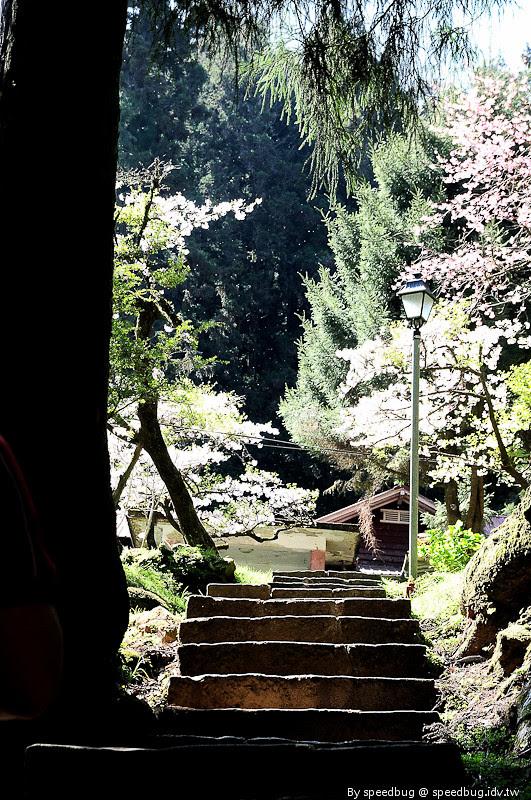 阿里山櫻花102