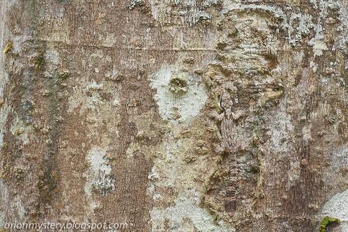 Kuhl's Flying Gecko (<i>Ptychozoon kuhli</i>) IMG_6877 copy