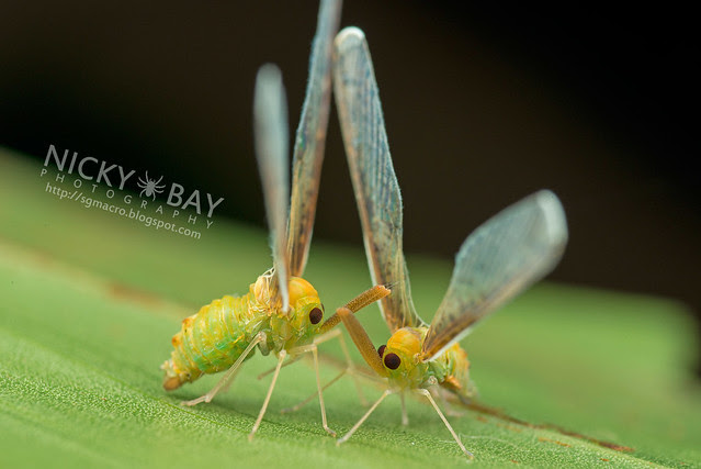 Derbid Planthopper (Derbidae) - DSC_5760