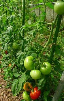 トマト植え付けから51日目