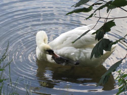 Bath Swans