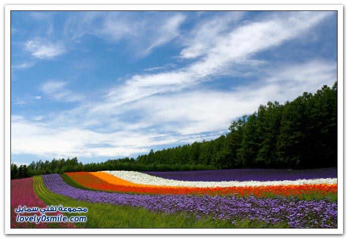 نبتة اللافندر أو الخزامى