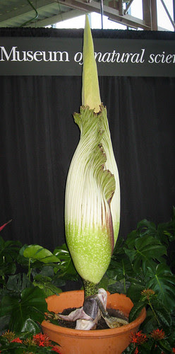 Corpse Flower at Houston Museum of Natural Science - HMNS Cockrell