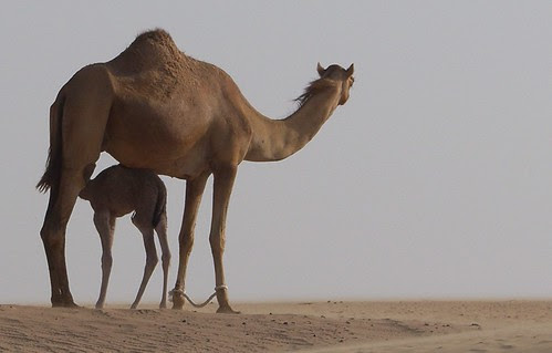 King of the Desert by :: Suwaif ::