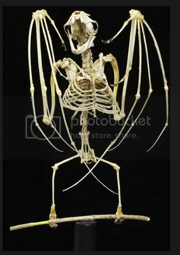 Skeleton of a bat hanging in its usual fashion, rotateed 180° by me