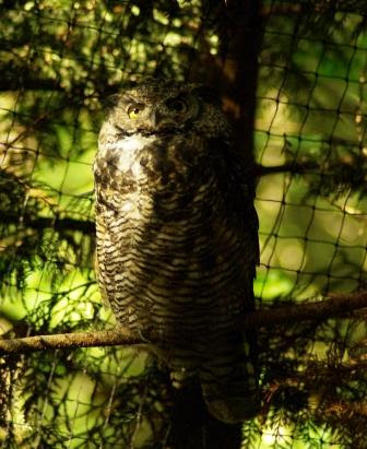 208-08-21 Northwest Trek Owl