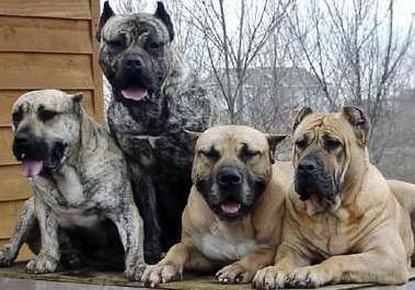 Perro de raza Dogo Canario