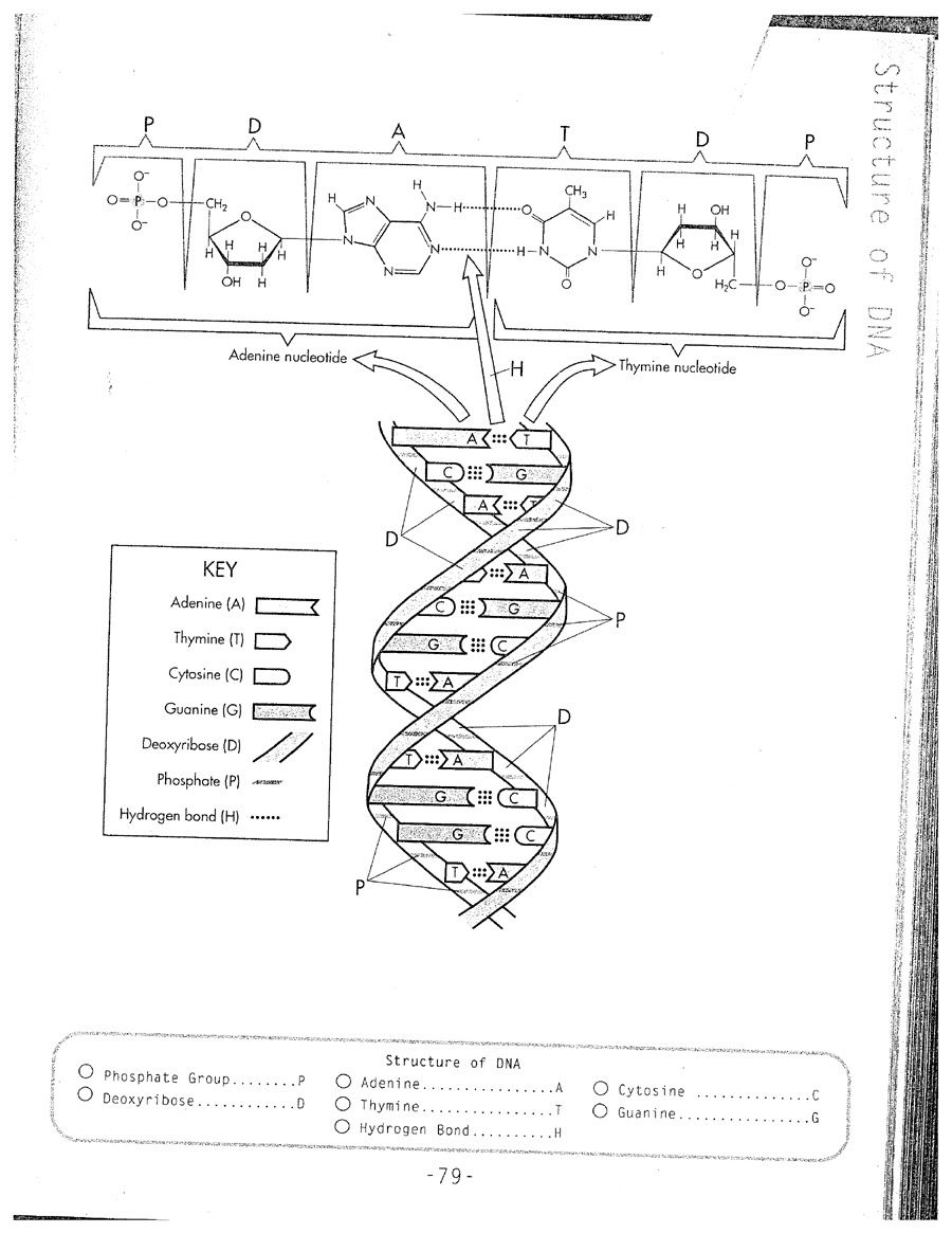 33 Dna Replication Coloring Worksheet - Worksheet Resource ...