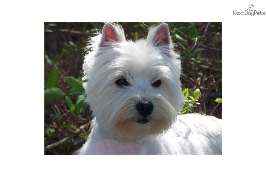 West Highland White Terrier - Westie puppy for sale near South Carolina USA