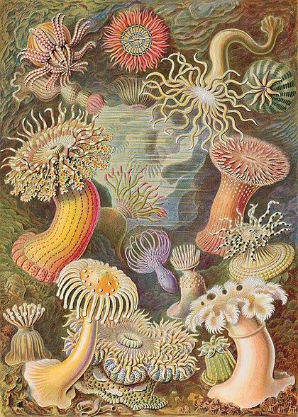 Archivo: Haeckel Actiniae.jpg