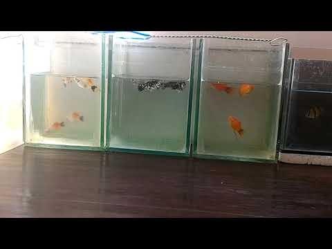 Populer Cara Pemijahan Ikan Molly Platy dan Sumatra Di ...