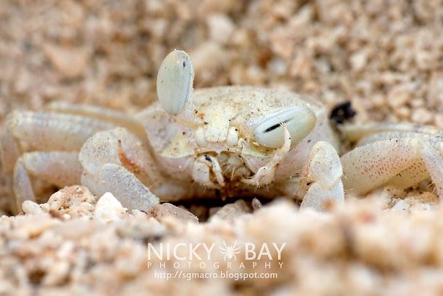 Ghost Crab (Ocypode sp.) - DSC_7037