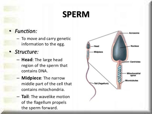 Acrosome human sperm consider, that