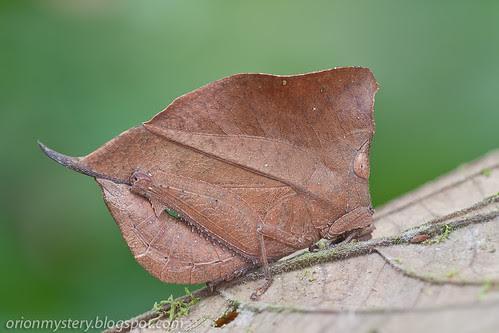 Leaf mimic grasshopper, <i>Chorotypus gallinaceus </i>IMG_5908 copy