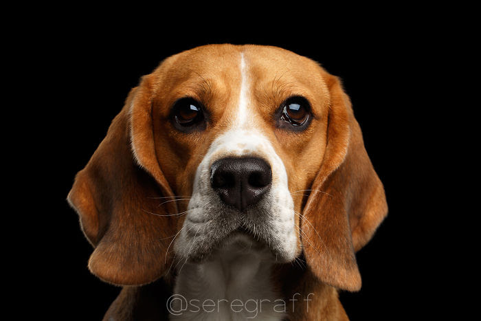 σκύλων Σκύλος Πορτραίτα σκύλων από τον Sergey Taran πορτραίτα σκύλων