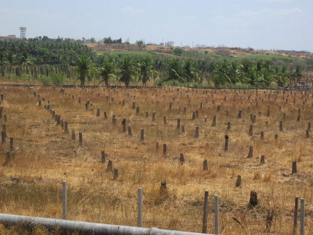 Stumps of coconut palms that died during the last drought in São Gonçalo, in the municipality of Sousa, in Northeast Brazil. In 2012, the water authorities suspended irrigation in order to ensure the supply of water for human consumption, due to the sharp fall of water in the reservoirs, which lasted for five more years. Credit: Mario Osava/IPS