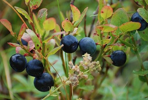 Blueberries-Littleisland