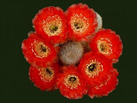 cactus-flowers- (13)