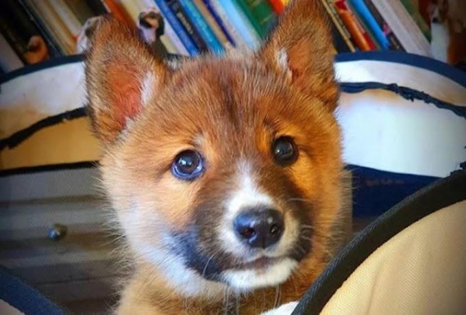 Acogen al cachorro herido que lloraba en su jardín pero descubren que se trataba de otro animal